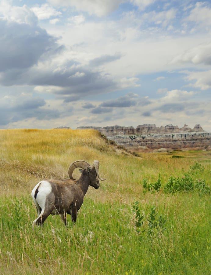 Big Horn cakle w badlands Południowy Dakota zdjęcie stock