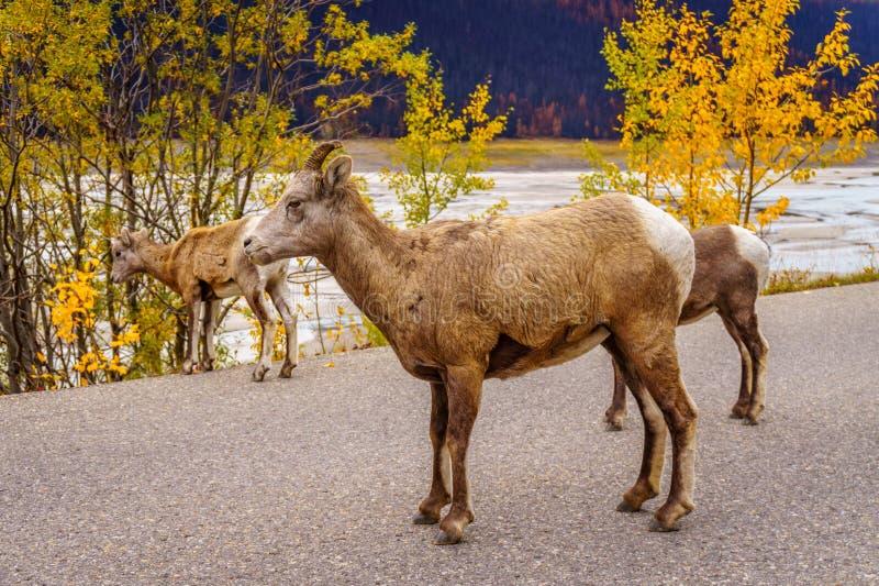 Big Horn cakle w Jaspisowym parku narodowym fotografia royalty free