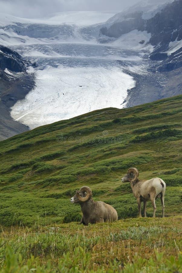 big horn np jaspisowi owce zdjęcia royalty free
