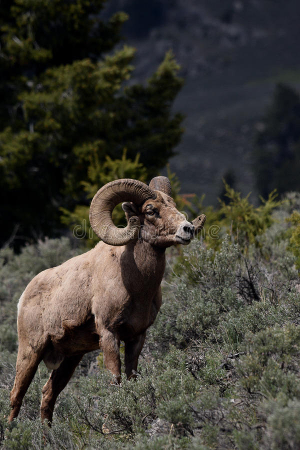 Big horn ram. A big horn ram stands in the sage brush royalty free stock image