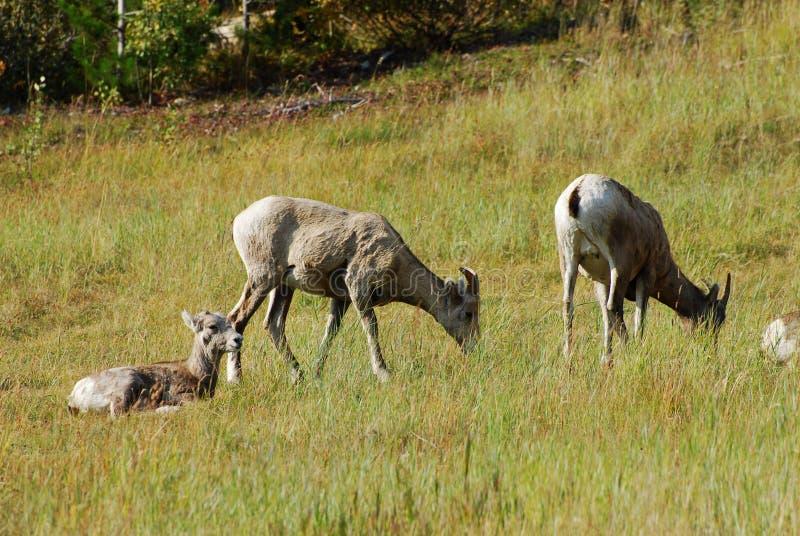 Download Big horn rams stock image. Image of animal, flock, animals - 7224551