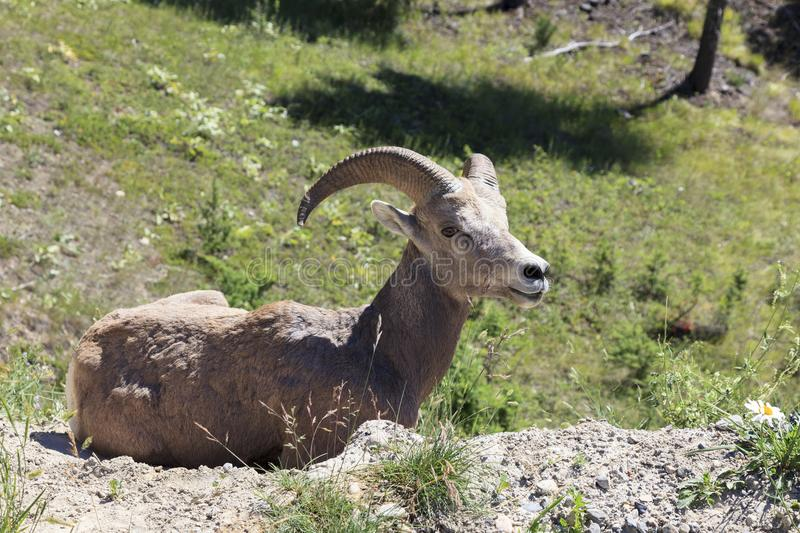 Big horn royalty free stock photography