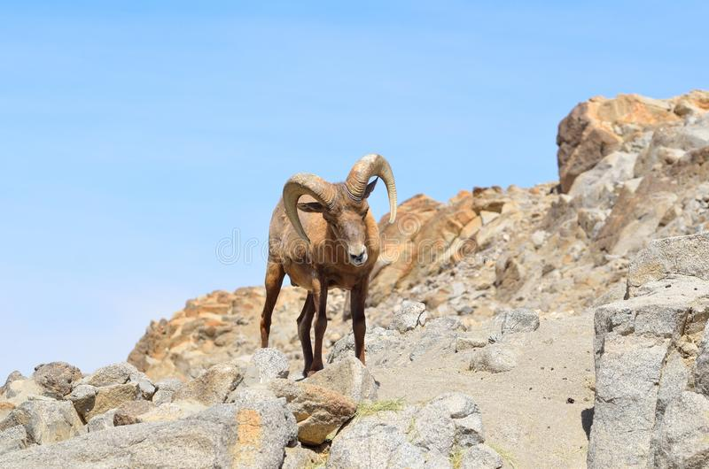 Big horn on the rocks. Big Horn sheep standing on the rocks at the Living Desert in Palm Springs, California royalty free stock photos