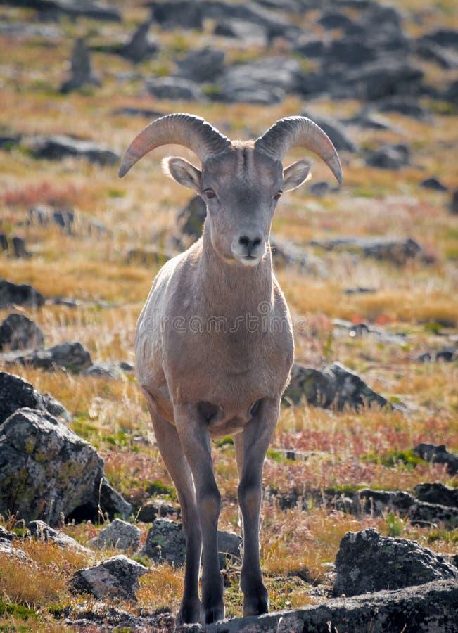Big Horn-Schafe stockfotos