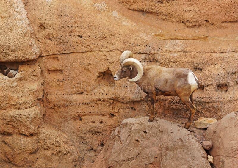 Big Horn-Schafe lizenzfreie stockfotografie