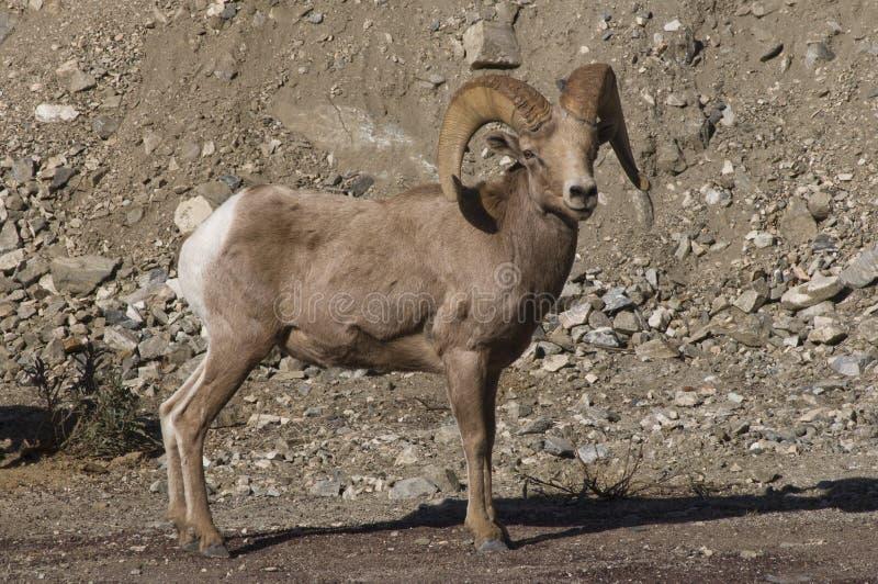 Download Big horn sheep stock image. Image of nature, sage, ovis - 18279247