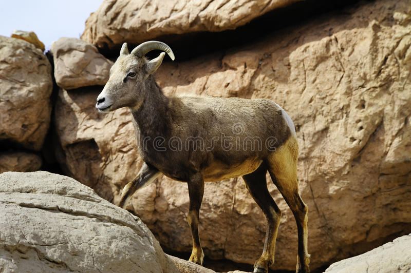 Download Big Horn Sheep stock image. Image of female, rocks, canadensis - 20892309