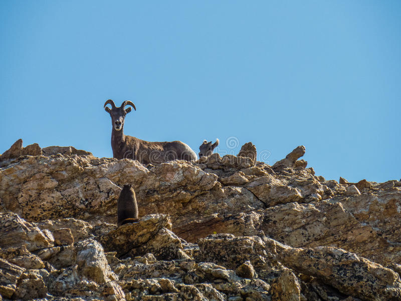 A big horn sheep and baby stare down a Marmot stock images