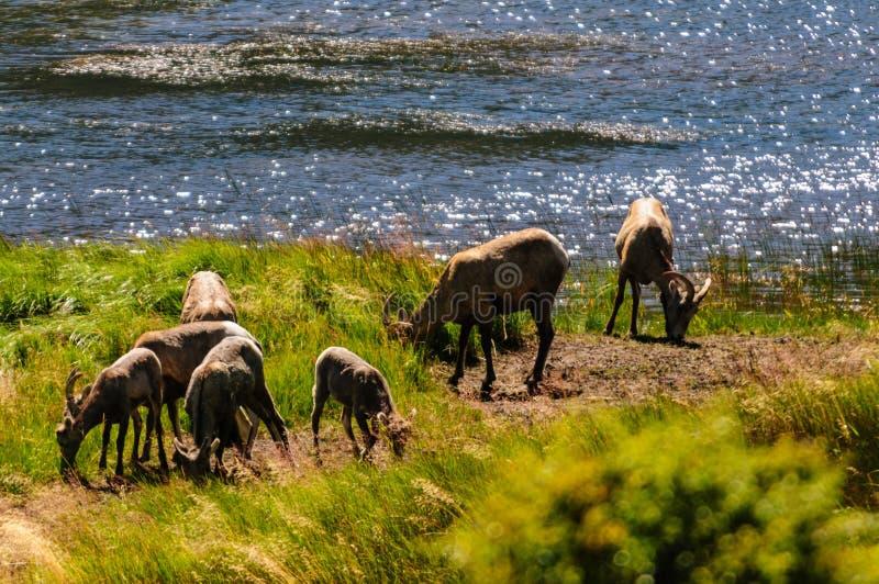 Big horn sheep in Colorado stock image