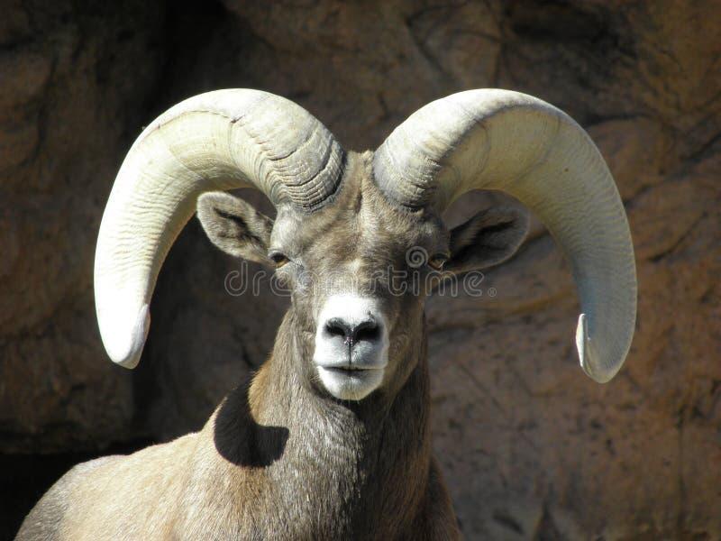 Big Horn Sheep stock photography