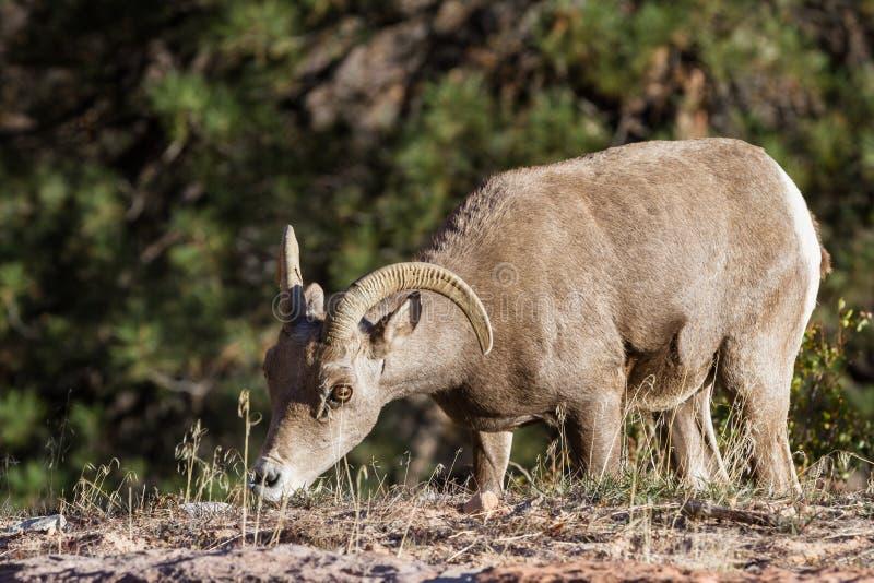 Big horn sheep stock photos