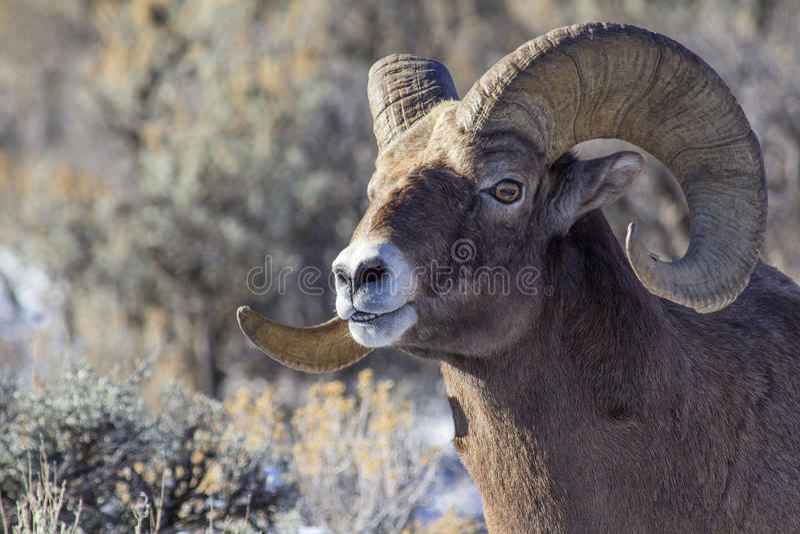 Big Horn Sheep Ram stock photo