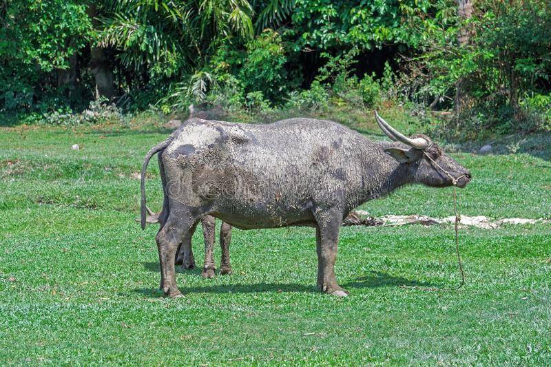 Big horn thai water buffalo. Standing in the morning for sunbathing over green grass background.  royalty free stock image