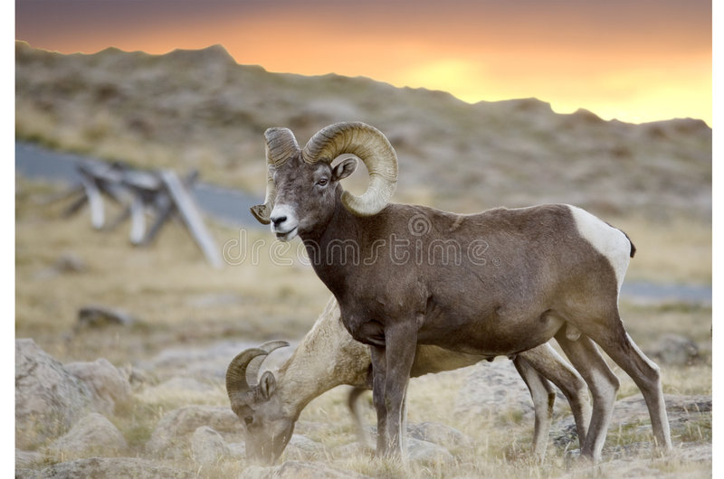 Big Horn On Trail Ridge Stock Photography