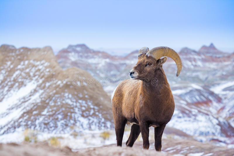 Big Hornfår i South Dakota Badlands arkivbild