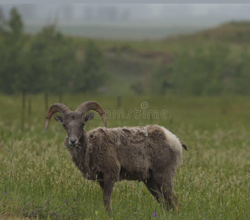 Big Hornfår på Badlandsnationalparken arkivbilder