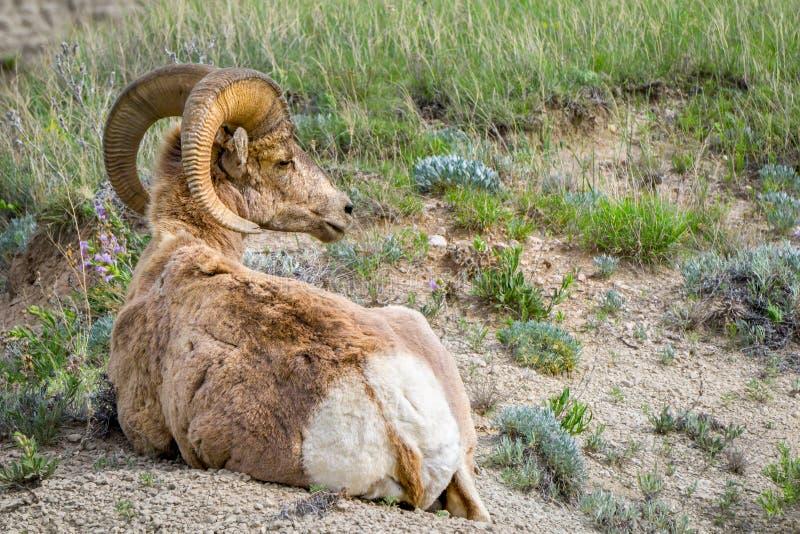 Big Hornfår på Badlandsnationalparken fotografering för bildbyråer