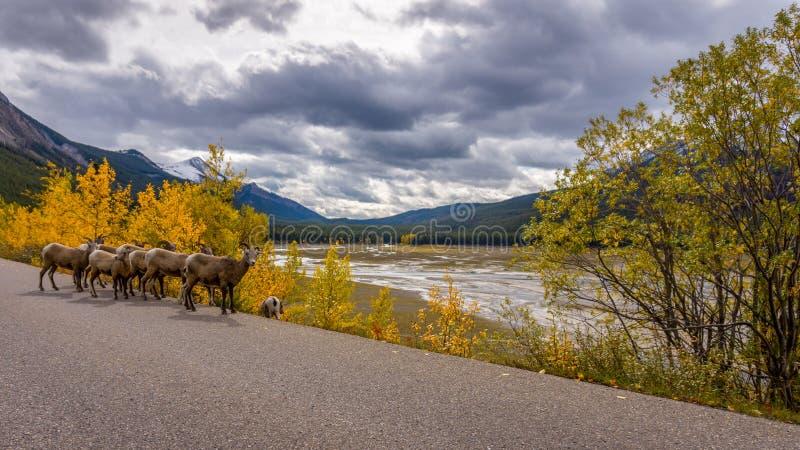Big Hornschapen in Jasper National Park stock afbeelding