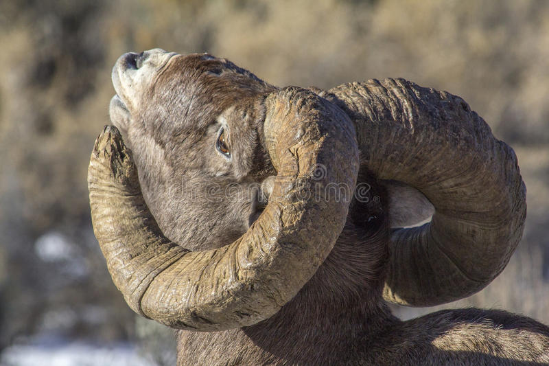 Big Hornschapen Ram Sniffing de lucht royalty-vrije stock afbeeldingen