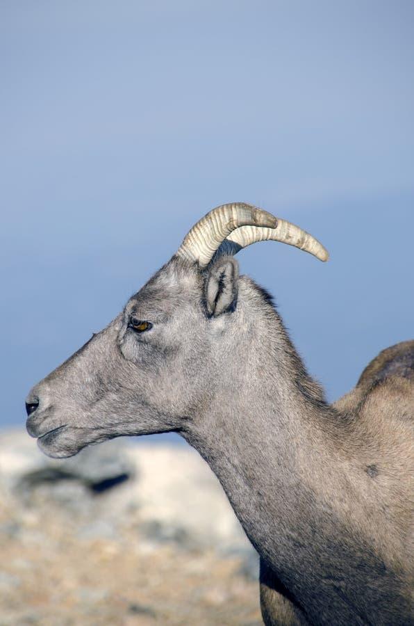 Big Hornschapen in Rocky Mountains stock afbeelding