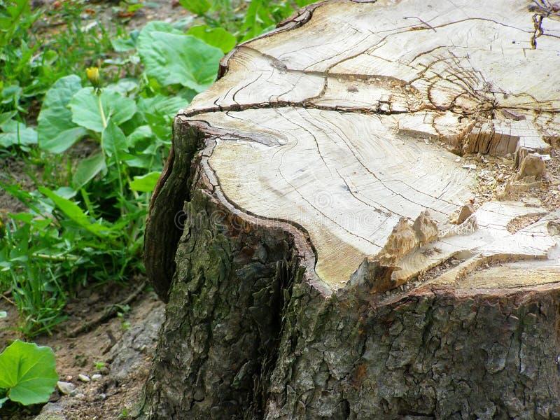 Horse chestnut stump royalty free stock photo