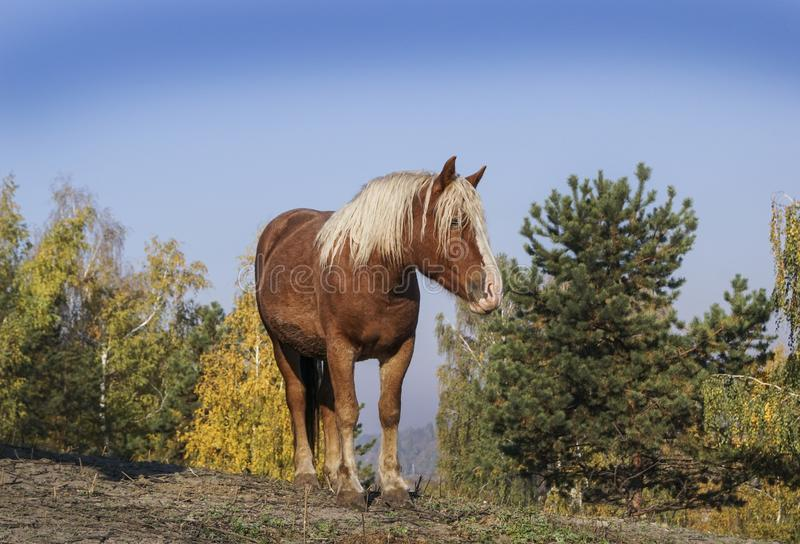 Big horse with a white mane stands on the background of yellow trees. In autumn royalty free stock photo