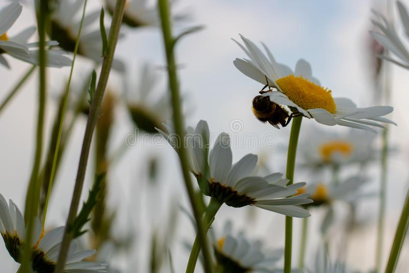 Big hoverfly hiding under a daisy flower stock photography