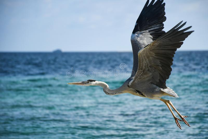 Big hungry crane bird with opened wigs flying over the big blue ocean. Searching for small fish to catch royalty free stock image