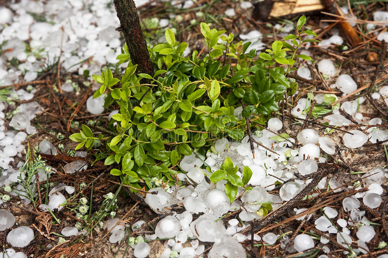 Big ice balls hail in the forest with cowberry royalty free stock photo
