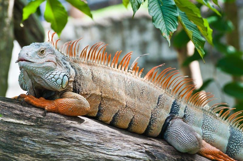 Download Big iguana stock image. Image of green, outdoor, close - 20003943