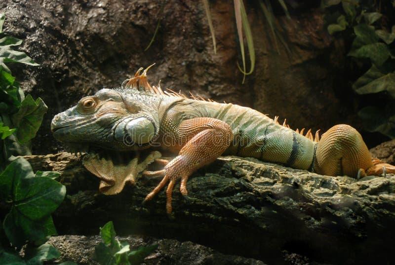 Big iguana. In aquarium of Barcelona, reptile stock photo