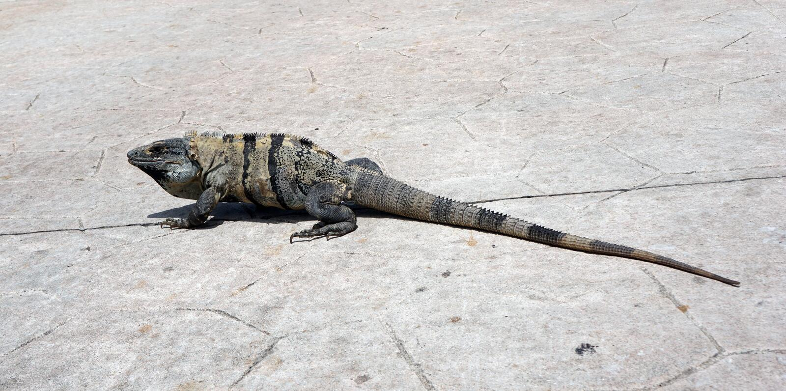 Big iguana over a road. Big adult iguana walking over a stone road, adult reptile changing his skin, wild animal in the mexican caribbean taking a sun bath, skin royalty free stock photo
