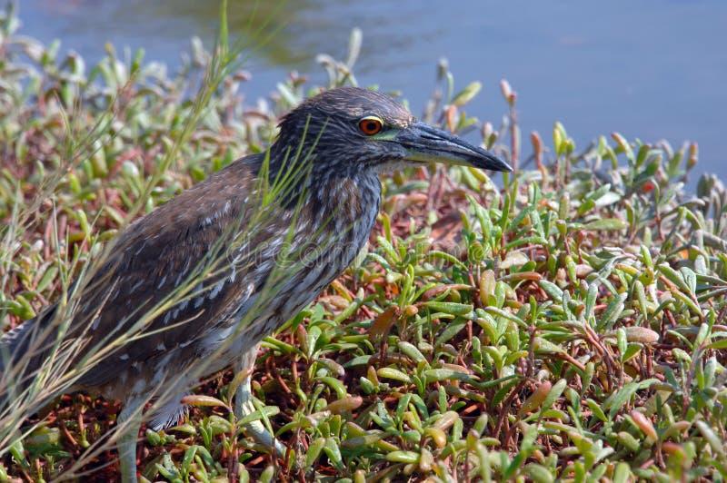 Download Big Island Heron stock image. Image of grey, walking - 27019549