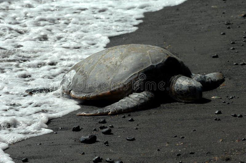 Big Island Sleeping Turtle Royalty Free Stock Image