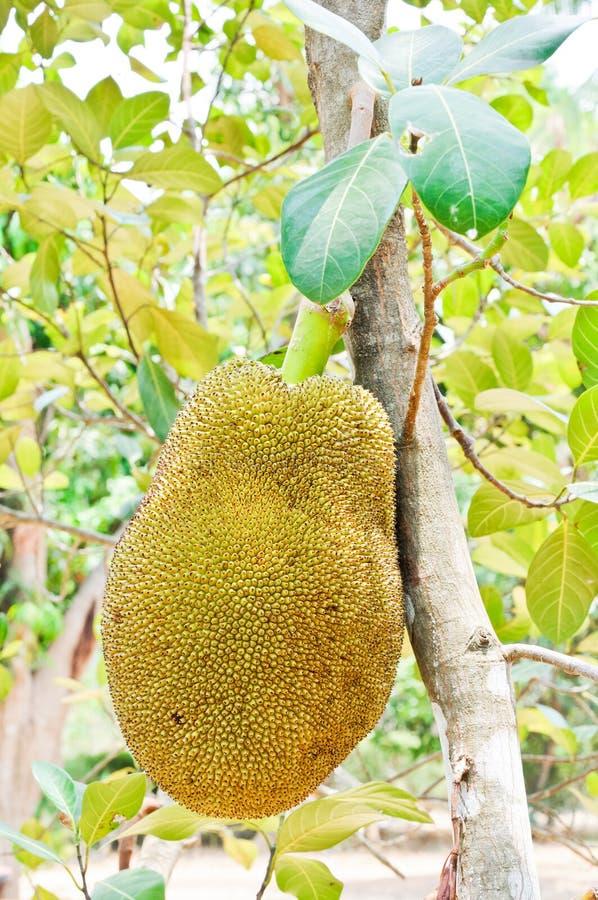 Download Big jackfruit stock photo. Image of food, colour, gourmet - 20817292