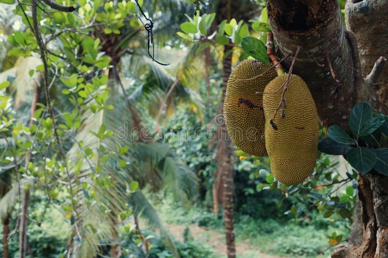 Big jackfruits on a tree in Indonesia Bali. Smelly and sweet tropical food stock photography