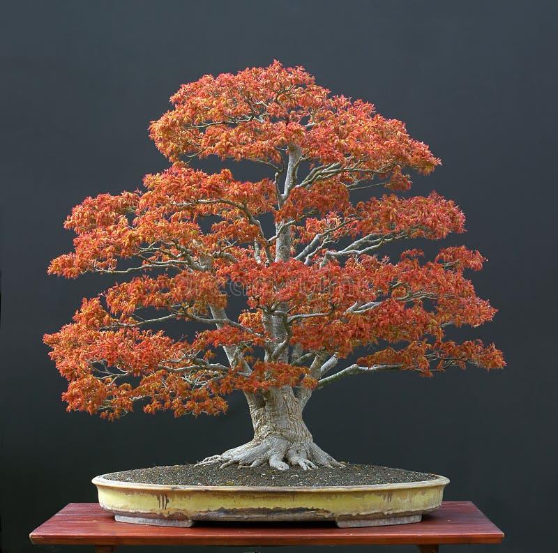 Big Japanese maple bonsai stock photos
