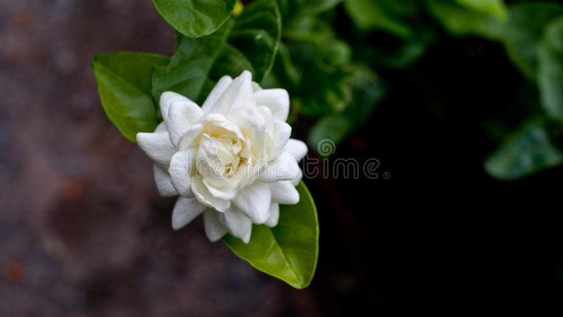 Big Jasmine. Fragrance stock image