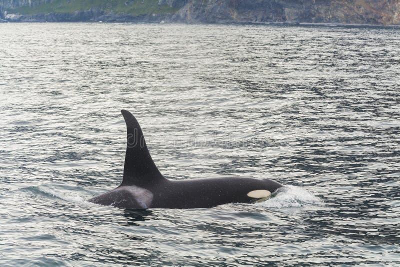 Big killer whale. At coast of the Kamchatka Peninsula royalty free stock photo