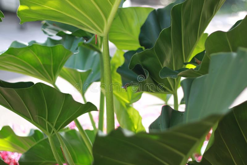 Big leaf plant in garden green beautiful tropical royalty free stock images