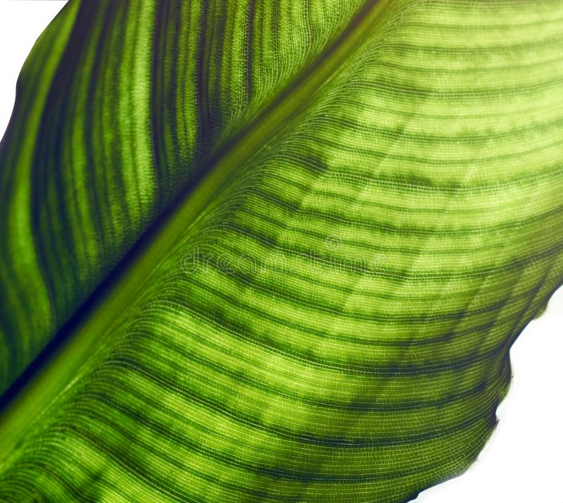 Big leaf of strelitzia isolated on white background. Leaf of strelitzia with cells and veins are visible, macro, close-up, isolated on white background, crop royalty free stock photos