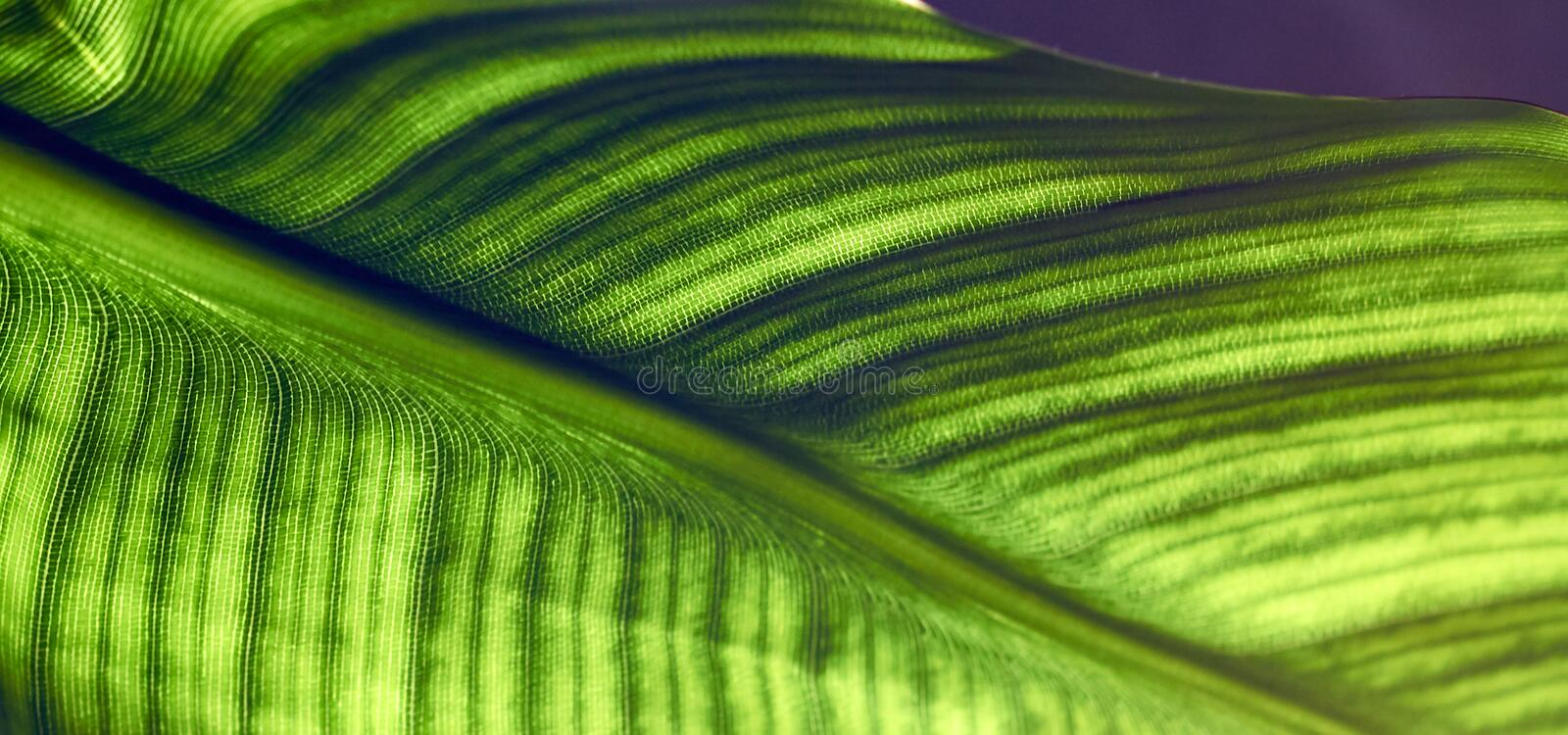 Big leaf of strelitzia isolated on white background. Leaf of strelitzia with cells and veins are visible, macro, close-up, isolated on white background, crop royalty free stock image