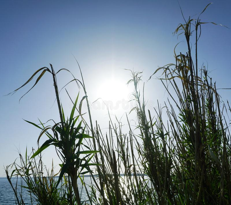 Big leaves and branches of reed grass in front and the turquoise blue sky with big sun reflecting on the sea surface in the backgr. Ound, Adriatic sea coast in royalty free stock photos