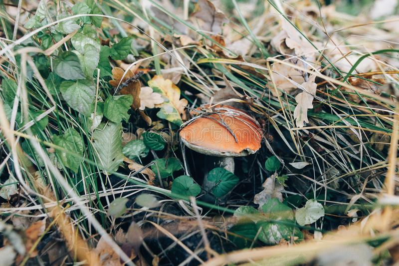 Big leccinum aurantiacum mushroom in autumn leaves and grass in  sunny woods. Picking mushrooms in forest. Leccinum with fall. Leaves. Copy space. Mushroom royalty free stock photos