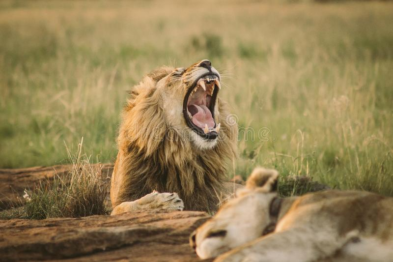 Big lion laying on the ground and yawning royalty free stock images