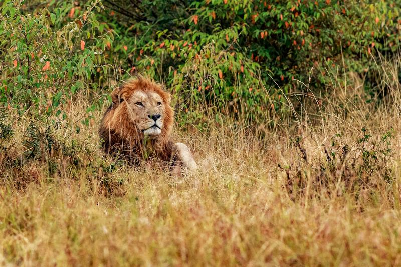 Beautiful Lion Caesar in the golden grass of Masai Mara, Kenya stock photos