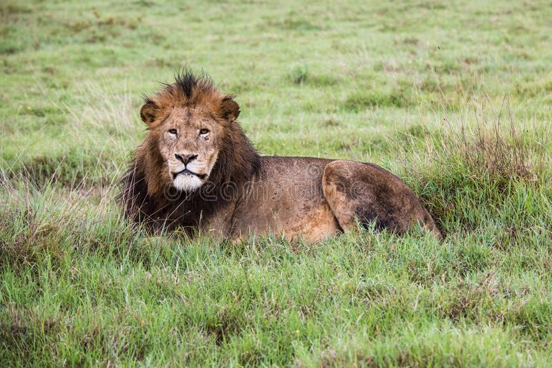 Beautiful Lion Caesar in the golden grass of Masai Mara, Kenya royalty free stock images