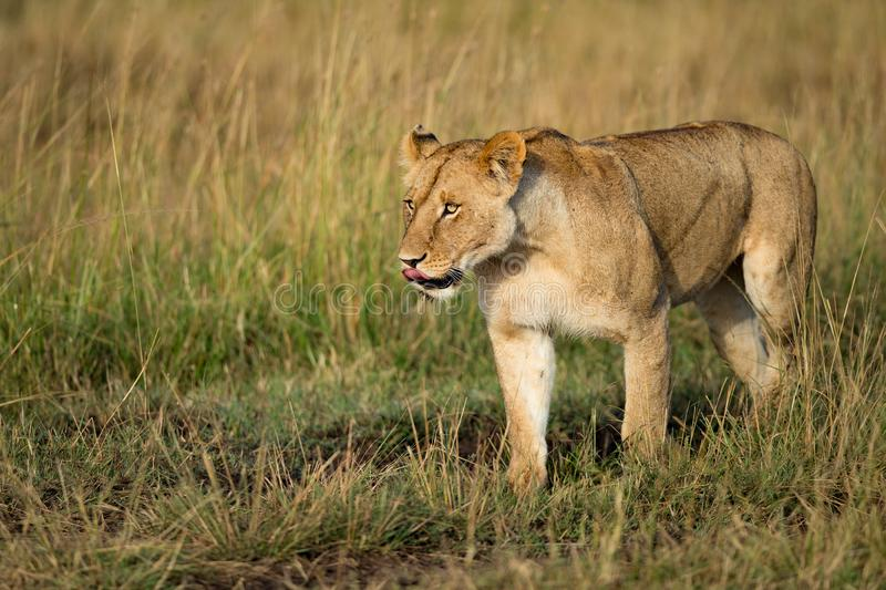Beautiful Lion Caesar in the golden grass of Masai Mara, Kenya royalty free stock photos