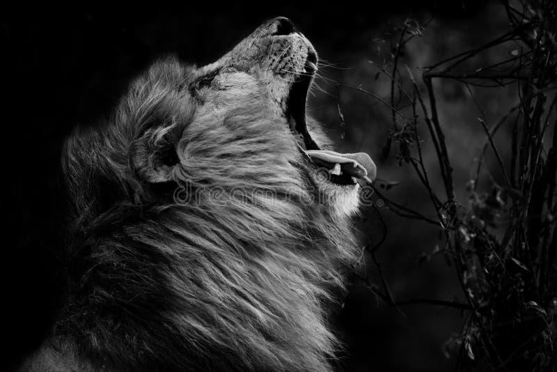 Big Lion Scarface in Masai Mara, Kenya. Black and white image of a big Lion stock photo