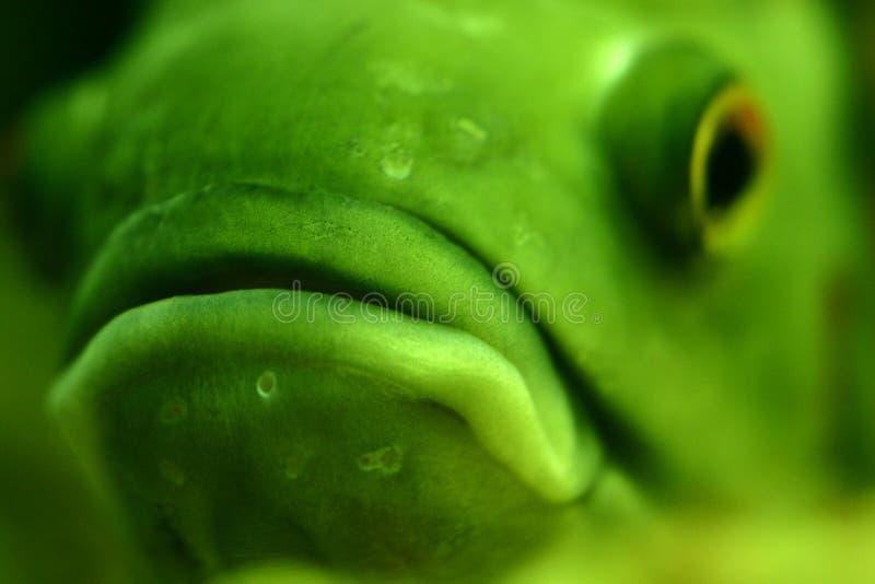 Big lips. Closeup of piranha face, selective focus on lips royalty free stock image